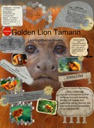 Golden Lion Tamarin's thumbnail