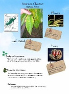 American Chestnut example's thumbnail