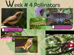 New GlogWeek # 4 Pollinators thumbnail